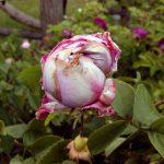 Kohl-Rose 'Perle von Weißenstein' (Rosa x centifolia)