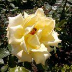 Rose 'Berolina' (Rosa species)