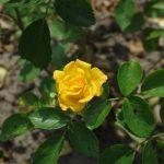 Rose 'Brokat' (Rosa species)