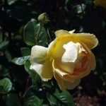 Rose 'Candlelight' (Rosa species)