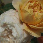 Rose 'Charles Darwin' (Rosa species)