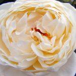 Rose 'Charlotte' (Rosa species)