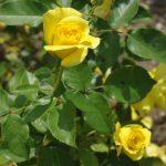 Rose 'Friesia' (Rosa species)