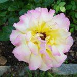 Rose 'Gloria Dei' (Rosa species)