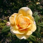 Rose 'Golden Celebration' (Rosa species)