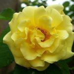 Rose 'Golden Gate' (Rosa species)