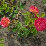 Rose 'Goldmarie 82' (Rosa species)