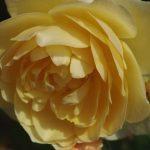 Rose 'Graham Thomas' (Rosa species)