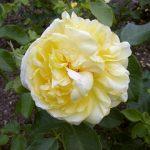 Rose 'Happy Child' (Rosa species)