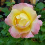Rose 'Isabelle Autissier' (Rosa species)
