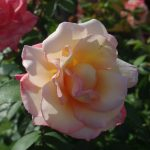 Rose 'Laetitia Casta' (Rosa species)
