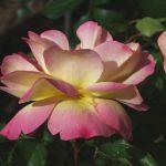 Rose 'Lampion' (Rosa species)