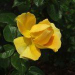 Rose 'Lichtkönigin Lucia' (Rosa species)