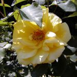 Rose 'Marco Polo' (Rosa species)