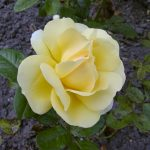 Rose 'Michelangelo' (Rosa species)