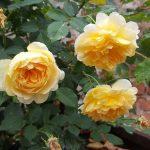 Rose 'Molineux' (Rosa species)