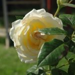 Rose 'My Girl' (Rosa species)