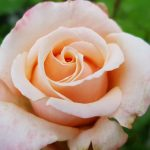 Rose 'Oh Happy Day' (Rosa species)