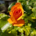 Rose 'Sahara' (Rosa species)