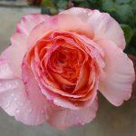 Rose 'Scented Memory' (Rosa species)