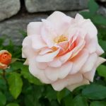 Rose 'Sweet Honey' (Rosa species)