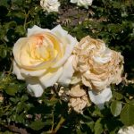 Rose 'Tchaikovski' (Rosa species)