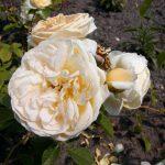 Rose 'Teasing Georgia' (Rosa species)