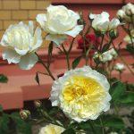 Rose 'The Pilgrim' (Rosa species)