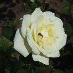 Rose 'Via Mala' (Rosa species)