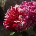 Rose 'Abracadabra' (Rosa species)