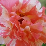 Rose 'Alfred Sisley' (Rosa species)
