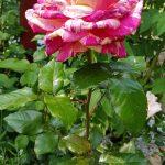 Rose 'Broceliande' (Rosa species)