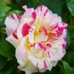 Rose 'Camille Pissarro' (Rosa species)