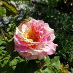 Rose 'Claude Monet' (Rosa species)
