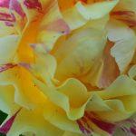 Rose 'Maurice Utrillo' (Rosa species)