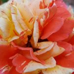 Rose 'Papagena' (Rosa species)
