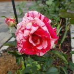 Rose 'Papageno' (Rosa species)