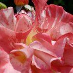 Rose 'Paul Gauguin' (Rosa species)