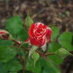 Rose 'Philatelie' (Rosa species)