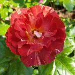 Rose 'Poseidon' (Rosa species)