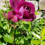 Rose 'Burgundy Ice' (Rosa species)