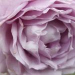 Rose 'Novalis' (Rosa species)