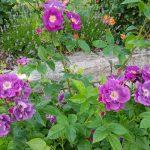 Rose 'Rhapsody in Blue' (Rosa species)