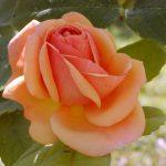 Rose (Rosa species)