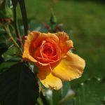 Rose 'Ashram' (Rosa species)
