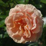 Rose 'Bengali' (Rosa species)