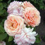 Rose 'Charles Austin' (Rosa species)