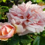 Rose 'Chippendale' (Rosa species)