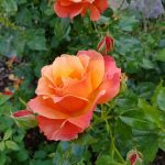 Rose 'Fellowship' (Rosa species)