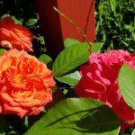 Rose 'Feurio' (Rosa species)
